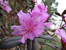 Rhododendron-PJM-Group--weretable--cc-by
