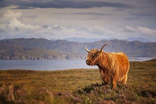 highlandcow.jpg