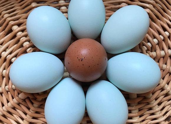 Ameraucana Eggs (1 Dozen)