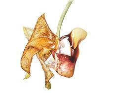 Coryanthes Kaiseriana