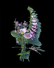 Votive Offering No.91 Dog Rose and Foxglove after Mary Delany