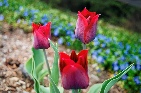 ClearyJe-Tulips-in-the-spring_1.jpg