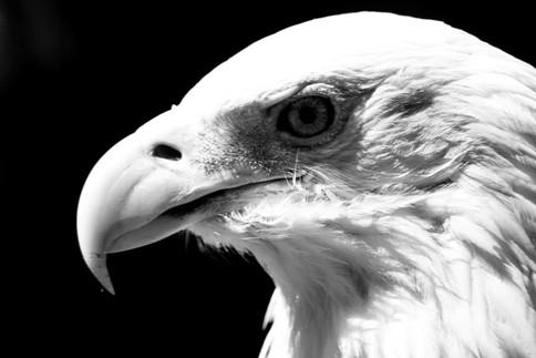 CurranKa-Bald-Eagle_1.jpg