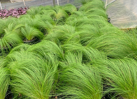 Stipa Mexican Feather Grass