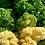 Thumbnail: Kale 'Yokohama White'