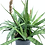 Thumbnail: Sansevieria 'Kenya Hyacinth'