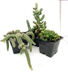3 Pack of Cacti; Gymnocalycium, Peanut Cactus, & Euphorbia debilispina