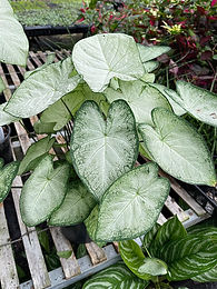 'Garden White' Caladium