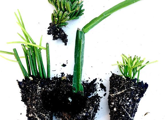 Rhipsalis Starter Plant Pack
