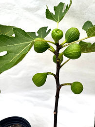 'Uncle Sid' Everbearing Fig Tree - 1 Gallon