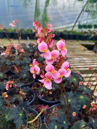 Begonia Rex 'Black Velvet'