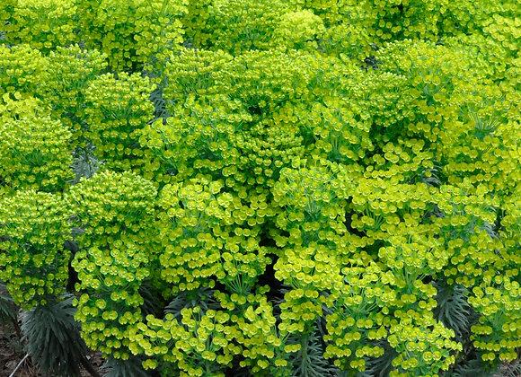 Euphorbia 'Shorty'
