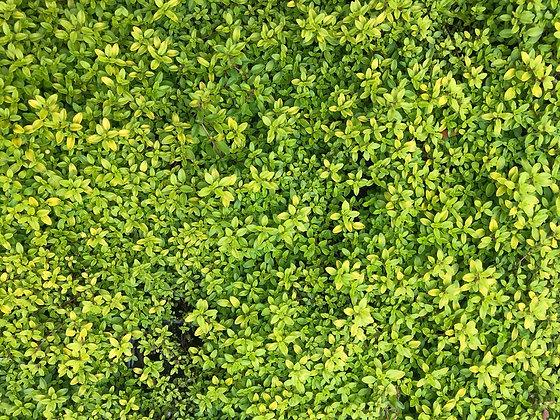 Creeping Golden Thyme