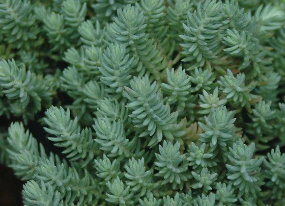 Sedum reflexum Blue Spruce