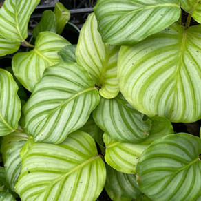 Calathea -- She has Movement & She is Grace, A Perfect Houseplant for all 50 States