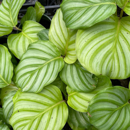 Calatheas -- What Can't They Do
