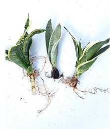 3 Varieties of Sansevieria Starter Pack