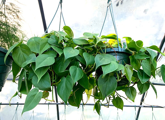 Philodendron 'Sweetheart Vine'