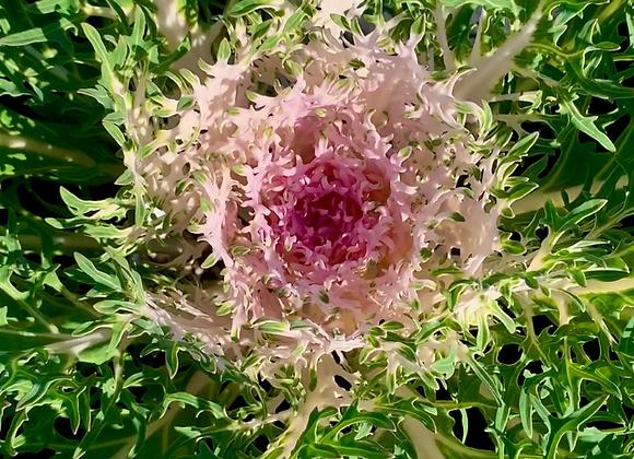 Kale 'Peacock White'