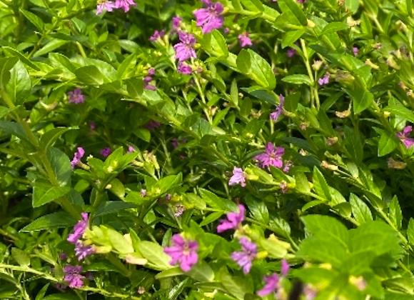 Cuphea hyssopifolia 'Mexican Heather'