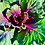 Thumbnail: Ornamental Cabbage 'Pigeon Red'