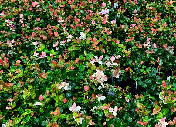 Asiatic Jasmine 'Snow N Summer'