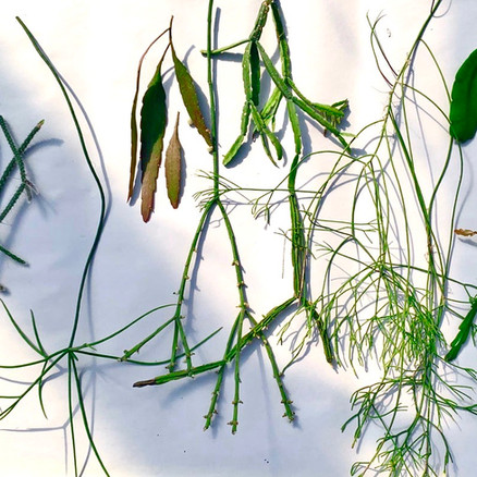 You've Just Received Your Unrooted Rhipsalis or Succulent Cuttings in the Mail -- What's Next?
