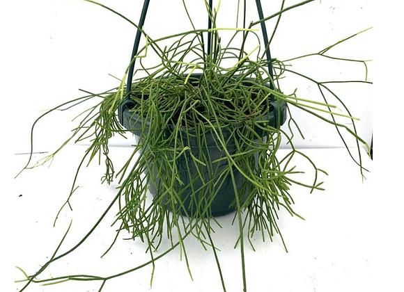 Rhipsalis burchelli