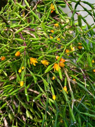 Rhipsalis mesembryanthemiodes