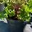 Thumbnail: Kale 'Nagoya Red'