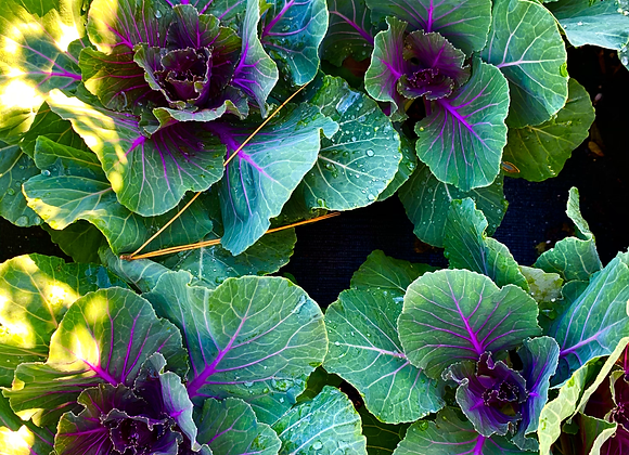Ornamental Cabbage 'Pigeon Red'