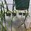 Thumbnail: Rhipsalis paradoxa