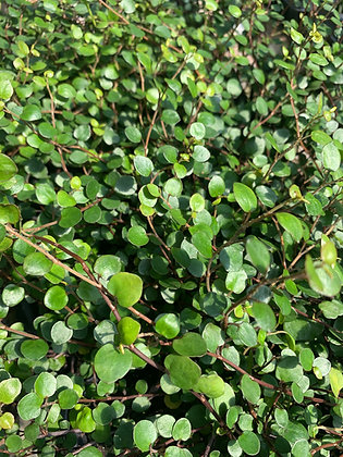 Muehlenbeckia axillaris 'Creeping Wire Vine'