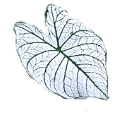 Learn everything you need to know about Caladiums