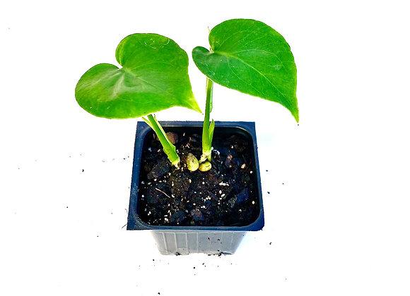 """Monster deliciosa Starter Plant 3.5"""""""
