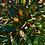Thumbnail: Mahonia 'Soft Caress'