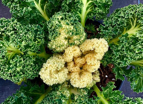 Kale 'Yokohama White'
