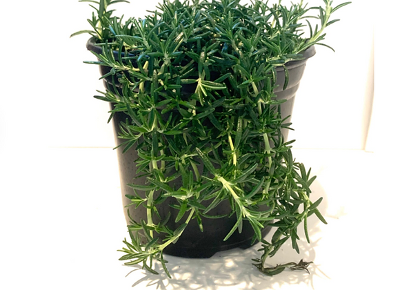 Trailing Rosemary; Rosmarinus officinalis 'prostratus'