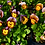 Thumbnail: Violas