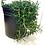 Thumbnail: Trailing Rosemary; Rosmarinus officinalis 'prostratus'