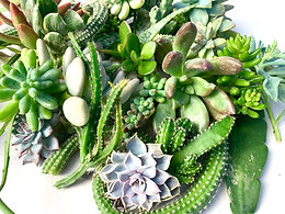 10 Assorted Succulent Cuttings