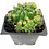 Thumbnail: 3 Pack of Cacti; Gymnocalycium, Peanut Cactus, & Euphorbia debilispina