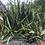 Thumbnail: Sansevieria Dwarf Canaliculata