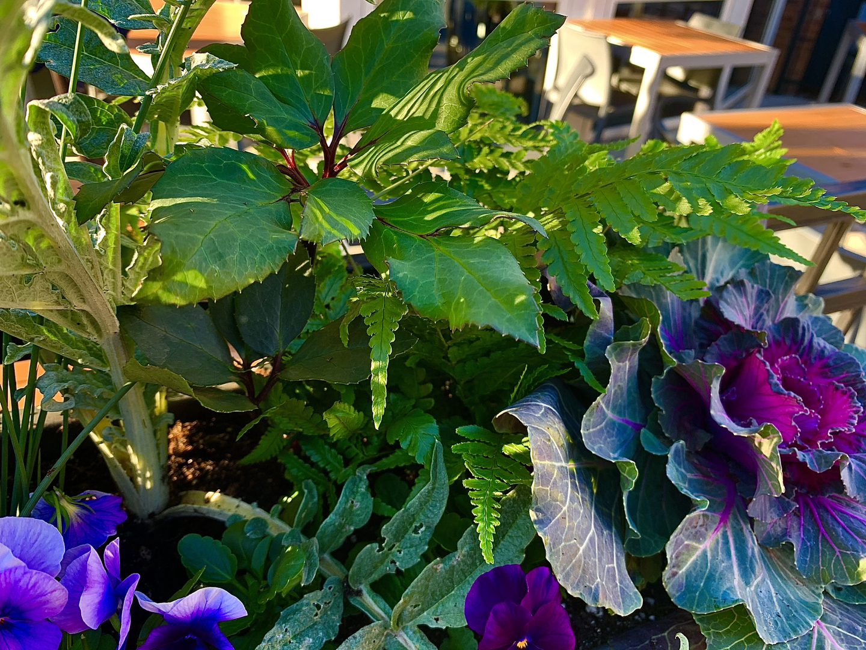 Hellebore 'Frosty', Pigeon Red Kale, Violas, Autumn Ferns