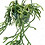 Thumbnail: Rhipsalis sp. unknown