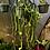 Thumbnail: Cissus quadrangularis