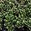Thumbnail: Fairy Castle Cactus