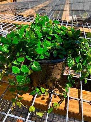 Asiatic Jasmine Vine - 1 Gallon