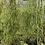 Thumbnail: Rhipsalis campos portoana