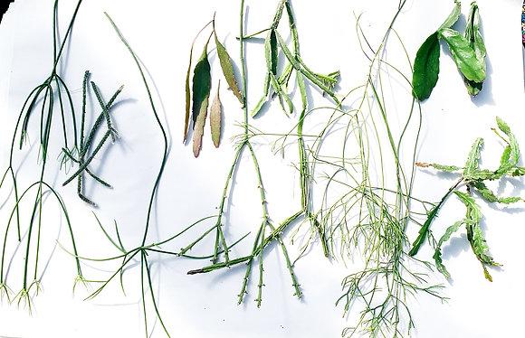 Rhipsalis Variety Pack